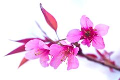 Thai Sakura. Royalty Free Stock Image