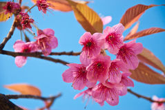 Thai Sakura. Stock Photo