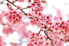 Thai sakura. In winter at Doi Kunwang, Chaing mai Province, Thailand royalty free stock photo
