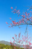 Thai Sakura Royalty Free Stock Photos