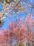 Thai Sakura Royalty Free Stock Image