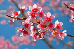 Thai sakura blooming during winter 2 Royalty Free Stock Photos
