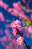 Thai Sakura blooming. In Northen area in Thailand Stock Photography