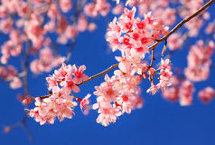 Thai sakura blooming during winter Stock Photos