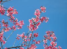 Thai sakura blooming during winter Stock Photo