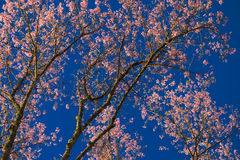 Thai sakura blooming during winter Stock Photography