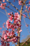 Thai sakura cherry blossom Stock Images