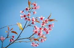 Thai Sakura Flower . Royalty Free Stock Photos