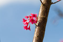 Thai sakura flower Stock Image