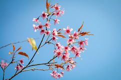 Thai sakura flower . Royalty Free Stock Photos