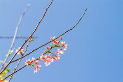 Thai sakura flower Royalty Free Stock Photography