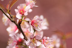 Thai Sakura In Winter Season Stock Image