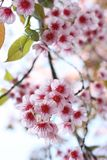 Thai sakura Royalty Free Stock Photography
