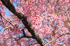 Thai sakura Royalty Free Stock Photo