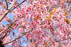 Thai sakura Stock Image