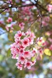 Thai sakura Royalty Free Stock Images