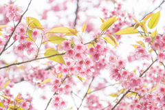 Thai Sakura Royalty Free Stock Image