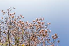 Thai sakura tree. In sky stock images
