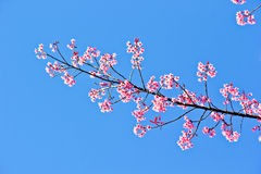 Thai sakura in winter season Stock Photography