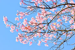 Thai sakura in winter season Royalty Free Stock Image