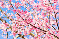 Thai sakura in winter season Stock Image
