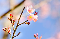 Thai sakura in winter season Royalty Free Stock Photography