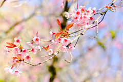 Thai sakura in winter season Royalty Free Stock Images