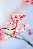 Thai sakura in winter season Stock Images