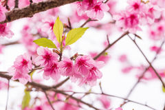 Thai Sakura in winter on tree, prunus cerasoides Stock Photo