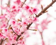Thai Sakura in winter on tree, prunus cerasoides Royalty Free Stock Photography