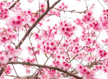 Thai Sakura in winter on tree, prunus cerasoides Royalty Free Stock Photo