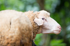 Thai sheep in the farm Stock Images