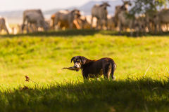 Thai sheepdog with herd of cow in nature background. Thai Dog is Stock Images
