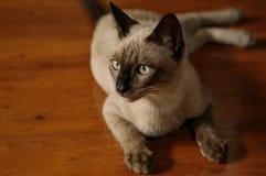 Thai Siamese cat, brown color, dark brown ears yellow eyes stock photo