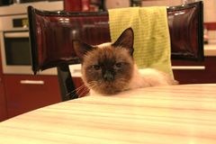 Thai siamese cat royalty free stock photos