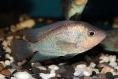 Thai Silk Flowerhorn Cichlid aquarium fish Stock Photos