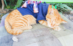 Thai sleeping cat Royalty Free Stock Photo