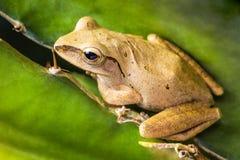 Thai small frog, Pad, Kiet Stock Photography
