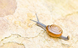 Thai snail on Background of stone wall texture, grunge Stock Photos