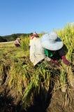thai sparad rice för cutting bonde Royaltyfria Bilder