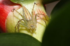 Thai spider Royalty Free Stock Photos