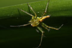 thai spindel Arkivfoton