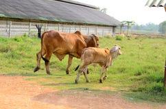 Thai stlye commercial cattle farm Royalty Free Stock Photos