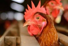 Thai stlye commercial layer farm Stock Photos