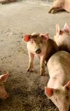 Thai stlye commercial pig farm Stock Images