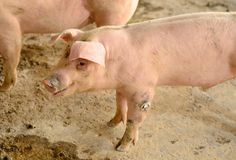Thai stlye commercial pig farm Royalty Free Stock Photos