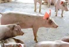 Thai stlye commercial pig farm Royalty Free Stock Images