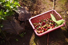 Thai strawberry. On basket in sunlight Royalty Free Stock Images
