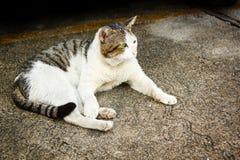 Thai stray cat. Thai stray cat lying on cement floor stock photos