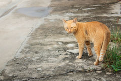 Thai stray cat, yellow cat. Stock Images